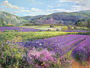 Flower Field Paintings - Lavender Fields in Old Provence by Timothy Easton