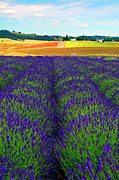 Lavender Digital Art Framed Prints - Lavender Fields Framed Print by Margaret Hood