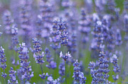 Dunedin Prints - Lavender Flowers Print by Jill Ferry