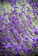 Close-up Floral Images Prints - Lavender Print by Frank Tschakert