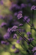 Lavender Garden I Print by Jayne Logan Intveld