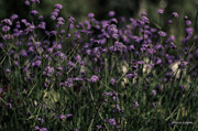 Card For Photographer Prints - Lavender Garden II Print by Jayne Logan Intveld