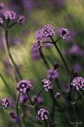 Artography Photos - Lavender Garden III by Jayne Logan Intveld