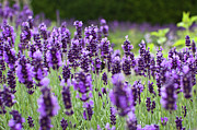 Flower Bed Prints - Lavender Print by Gavin Chapman