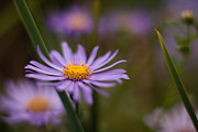 Daisy Metal Prints - Lavender Gerbera Metal Print by Mike Reid