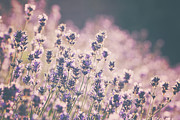 Selective Focus Framed Prints - Lavender In Early Evening Light Framed Print by Helen Rushbrook