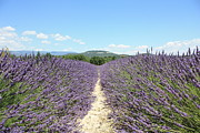 Dirt Road Prints - Lavender In Provence Print by Thomas Chung Siu Chung