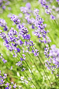 Flower Blooming Photos - Lavender in sunshine by Elena Elisseeva