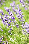 Lavender In Sunshine Print by Elena Elisseeva