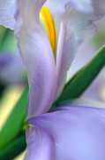 Flower Photos Framed Prints - Lavender Iris Framed Print by Kathy Yates