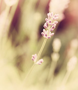 Fine Art Photo Prints - Lavender Print by Kristin Kreet