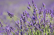 Lavender Lovers Print by Anahi DeCanio