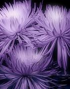 Floral Arrangement Prints - Lavender Mums Print by Tom Mc Nemar
