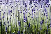 Purple Nature Art Art - Lavender Patterns by Ray Laskowitz - Printscapes