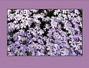 Phlox Framed Prints - Lavender Phlox Framed Print by Gretchen Wrede