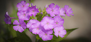 Phlox Photo Prints - Lavender Phlox Print by Teresa Mucha