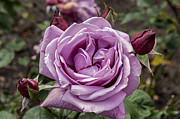 Pink Rose Prints - Lavender Rose Print by Anthony Citro