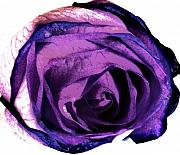 Purples Digital Art - Lavender Rose by Marsha Heiken