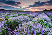 Summer Sunset Posters - Lavender Sea Poster by Evgeni Dinev
