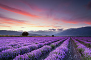 Dusk Metal Prints - Lavender Season Metal Print by Evgeni Dinev