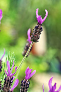 "\""textured Flower\\\"" Framed Prints - Lavender Soaking up the Sunshine Framed Print by Kaye Menner"