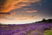 Lavender Framed Prints - Lavender sunset Framed Print by Evgeni Dinev