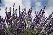 Plants Framed Prints Photos - Lavender by Robert  Torkomian