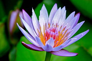 Nympheas Prints - Lavender Water Lily  Print by Karon Melillo DeVega