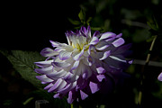 Conservatory Of Flowers Photos - Lavender White Dahlia by Glenn Franco Simmons