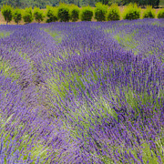 Lavender Fields Acrylic Prints - Lavender3 Acrylic Print by Ryan Hartson-Weddle