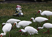 Ibis Photos - Lawn Gnomes and Ibises by Roger Wedegis