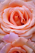 Agrofilms Photography - Layers Of Pink Petal...