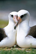 Two Islands Photos - Laysan Albatross Phoebastria by Tui De Roy