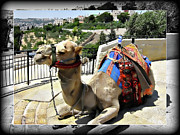 Camel Photos - Lazing by Douglas Barnard