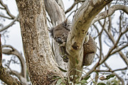 Koala Photo Prints - Lazy As Print by Douglas Barnard