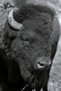 Mammal Pyrography Prints - Lazy Buffalo Print by Clinton Nelson