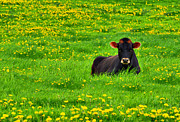 Country Scenes Metal Prints - Lazy Day Cow Metal Print by Emily Stauring