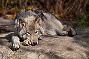 Timber Wolf Prints - Lazy Day Print by Michael Cummings
