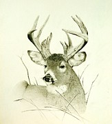 Wildlife Drawings Drawings Prints - Lazy Day Print by Stan White