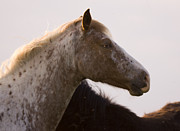 Appaloosa Horse Acrylic Prints - Lazy Eye Acrylic Print by Angel  Tarantella