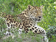 Lounging Framed Prints - Lazy Leopard Framed Print by Chad Thompson