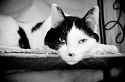 Somber Prints - Le Cat Print by Andee Photography