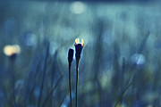 Dandelion Photos - Le Centre de l Attention - BLUE s0203d by Variance Collections