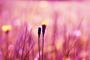 Dandelion Photos - Le Centre de l Attention - PINK s0301 by Variance Collections