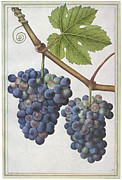 Grape Leaf Framed Prints - LE MOYNE: GRAPE VINE, c1585 Framed Print by Granger