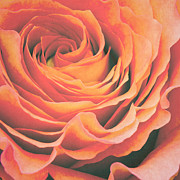 Orange Rose Prints - Le petale de rose Print by Angela Doelling AD DESIGN Photo and PhotoArt