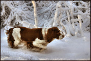 Springer Spaniel Framed Prints - Leading the Way Framed Print by Kristin Elmquist