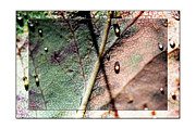 Raindrop Photos - Leaf After Rain by Marie Jamieson
