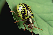Alamos Photo Posters - Leaf Beetle Calligrapha Sp Portrait Poster by Mark Moffett