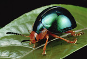 Iridescent Prints - Leaf Beetle from South Africa Print by Mark Moffett